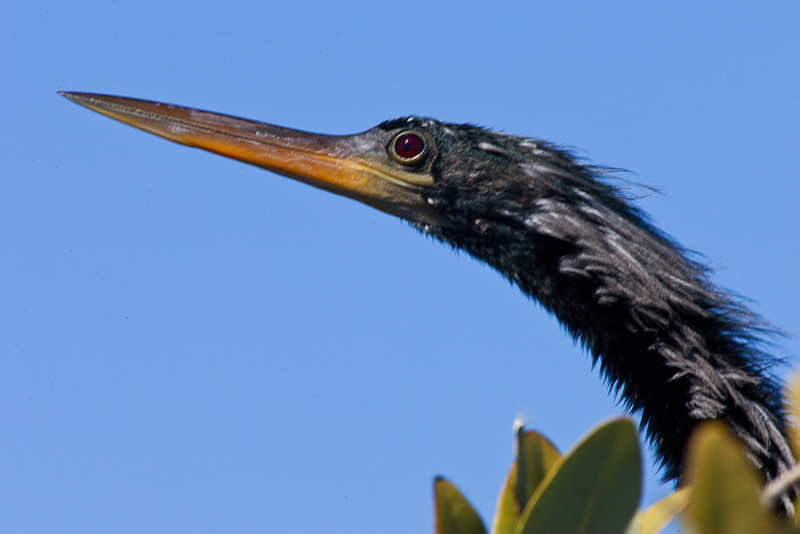 Anhinga Bill and Eye