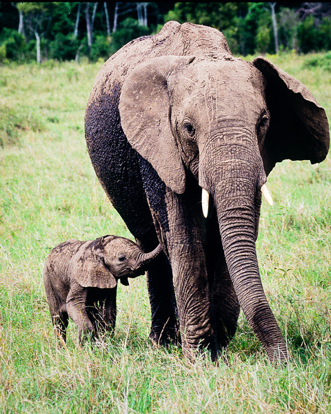 Baby elephant, 4 weeks old, feels safe if mom is near