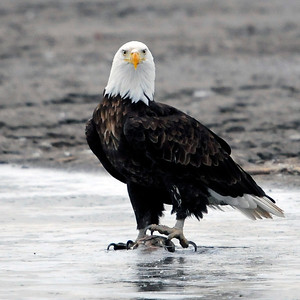 Bald Eagle Dinner
