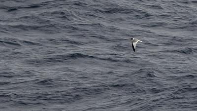Sabine's Gull  (Canada)