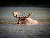 Moose in The Lake -- Glacier Park