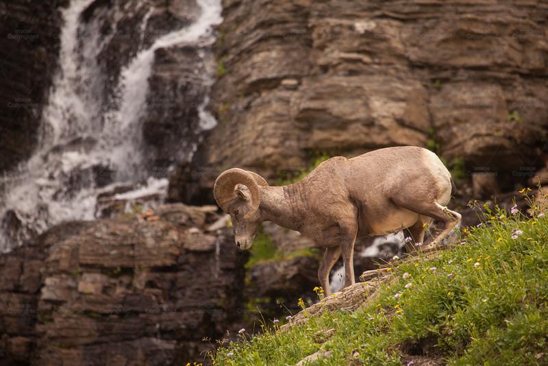 Ram by Waterfall