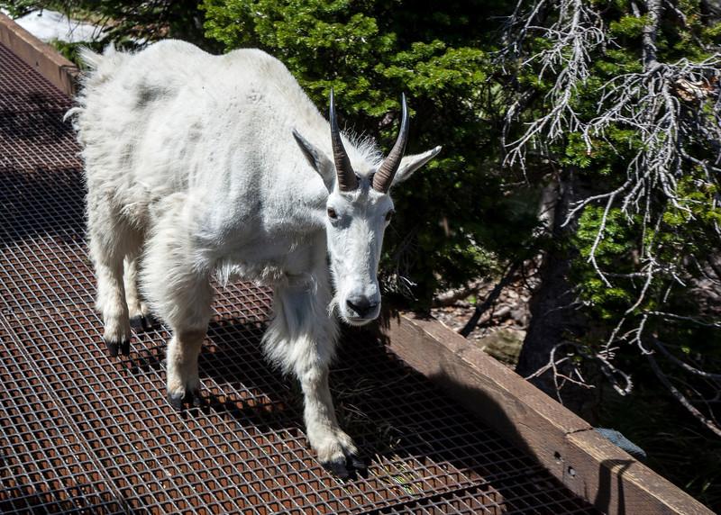 Goat in Glaciwe national park Coeur D Alene Lake Eagles