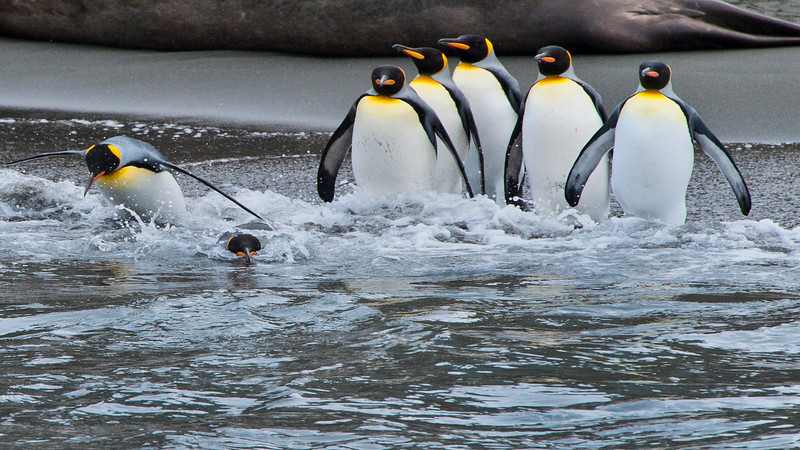 King Penguins , Antarctica