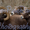 Big Horn Rams up N Fork