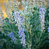 Lavender Delights