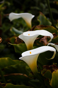 At the Calla Lily Grove