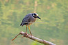 HEGRE - YELLOW CROWNED NIGHT HERON