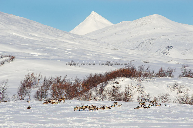 REINSDYRPÅSALTFJELLET-SALTDALKOMMUNE-NORDLAND