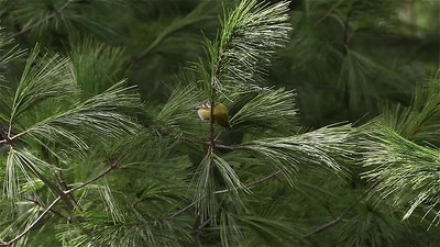Pine Warbler Wobbling Around