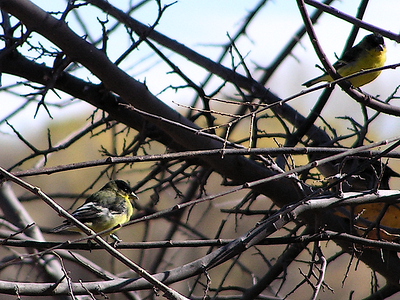 #910  Lesser Goldfinch, San Pedro Riparian Area, AZ nov 25, 2006 002_InPixio