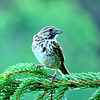 #Song Sparrow, SLHS, june 23, 2016 IMG_0230_InPixio