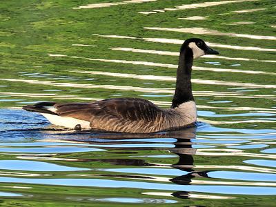 #1-Canada Goose, Lake Flower, june 23, 2016 IMG_0096_InPixio
