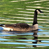 #1-Canada Goose, Lake Flower, june 23, 2016 IMG_0096_InPixio
