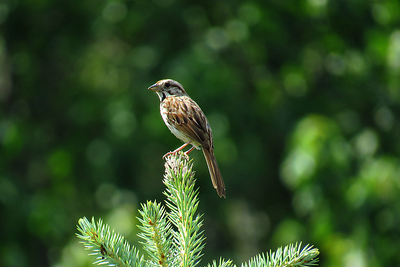 #1Song Sparrow, Middle Branch Res, NY, june 24, 2016 IMG_0245 IMG_02451_InPixio