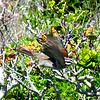 1-Cape Bunting, Cape Point, Cape Peninsula, South Africa, sep 30, 2016 IMG_12751 - Copy