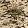 #1-American Pipit, Gilbert Riparian Reserve, Gilbert, AZ, march 23, 2017 IMG_68481_InPixio