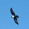 Pied Crow, Marianne estate, near Stellenbosch, SA, oct 1, 2016 IImg_1645