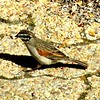 Cape Bunting, Cape Point, SA, sep 30, 2016 IMG_12911a - Copy