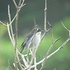 Fiscal Flycatcher, Tygerberg Res , Cape Town, SA, oct 1, 2016 IMG_1461