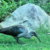 #2Hadeda Ibis, Kirstenbach Gardens, Western Cape, SA, sep 30, 2016IMG_1407_InPixio_InPixio