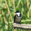 #White-throated Swallow, Marievale Bird Sanctuary, Johannesburg, SA, oct 8, 2016 IMG_3108_InPixio