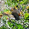 Cape Bunting, Cape Point, South Africa, sep 30, 2016 IMG_12751 - Copy