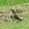 #1-Collared Pratincole, Chobe National Park, Botswana, oct 11, 2016 IMG_38231_InPixio