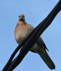 #48 Laughing Dove, Cape Town, sep 29, 2016 IMG_1042a_InPixio