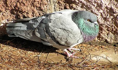 #1Rock Pigeon, Papago Park, Phoenix, AZ nov 24, 2006 012_InPixio