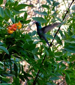 #481  Broadbilled Hummingbird,  Boyce Thompson Arboretum, Superior, AZ  nov 21, 2006 073_InPixio
