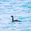 Red-faced Cormorant, Fox Island, Resurrection Bay, june 12, 2015, 350pm sDSCN0526 sDSCN0526_InPixio