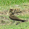 #1-Collared Pratincole, Chobe National Park, Botswana, oct 11, 2016 IMG_38231a_InPixio