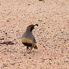 #228  Gamble's Quail, Scottsdale, AZ nov 28, 2006 028_InPixio
