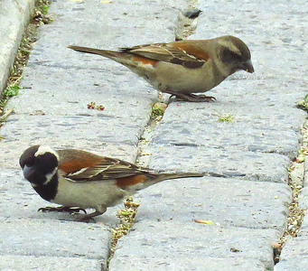 #44 Cape Sparrows, V&A Waterfront, Cape Town, sep 29, 2016 IMG_09591_InPixio