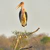 #1-Maribou Stork, Kruger NP, oct 6, 2016 IMG_2826_InPixio
