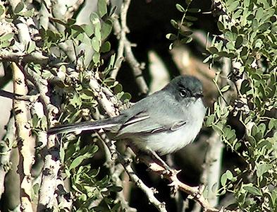 #648 black-tailed gnatcatcher  nov 28, 2003, Awatookee Wash, AZ1_InPixio
