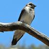 #Northern Rough-winged Swallow, Sedona, AZ,  mar 31, 2012 DSCN07381_InPixio