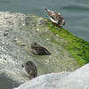 #299, ruddy turnstone, (& 316, purple sandpiper), CBBT, VA, april 25, 2004_InPixio