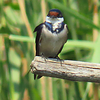#White-throated Swallow, Marievale Bird Sanctuary, Johannesburg, SA, oct 8, 2016IMG_3107_InPixio