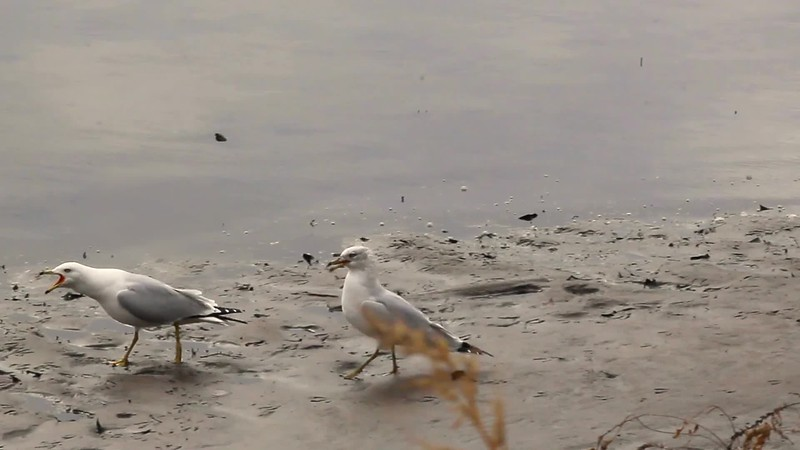 "Ring-billed Gull ""First Date"""