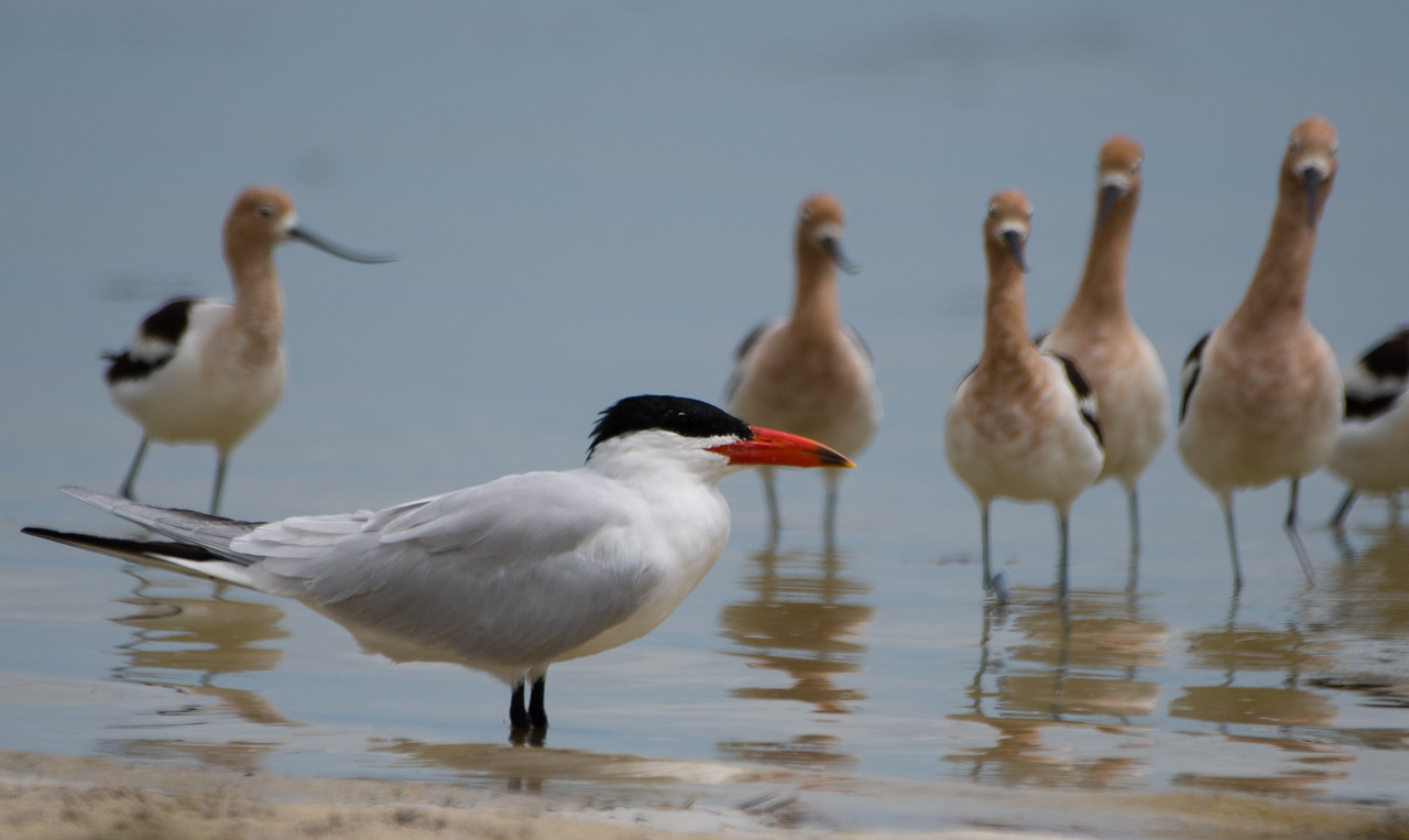Forster's Tern and American Avocets