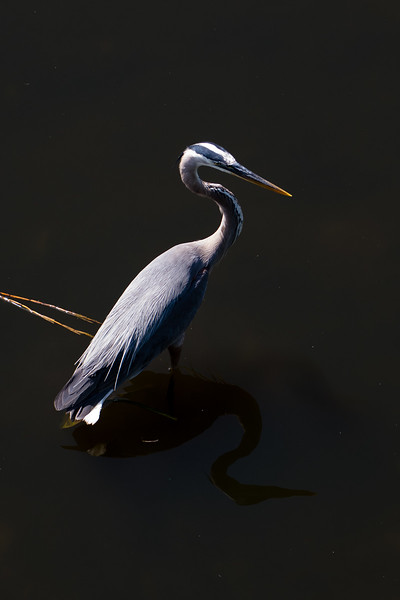 Great Blue Heron, Everglades