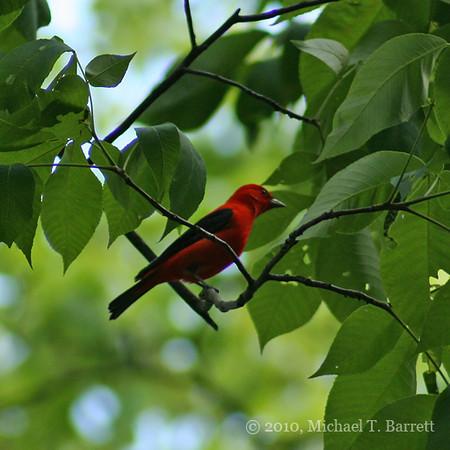 Scarlet Tanager #3