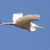 Great Egret (5)
