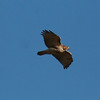 Floyd County - Red-Tailed Hawk (2)