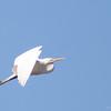Great Egret (3)