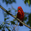 Summer Tanager #1
