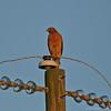 Red Shouldered Hawk #1