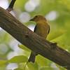 Female Scarlet Tanager